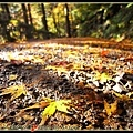 下過雨楓葉都被打落了