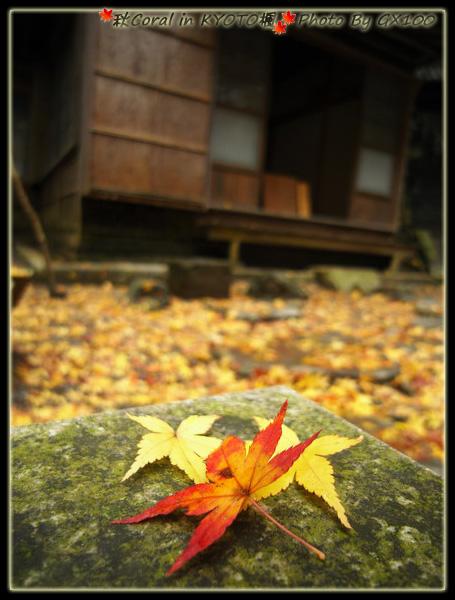 超愛近拍可愛的楓葉