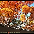 黃橘黃橘的楓葉