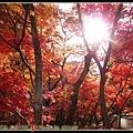 只能用火紅來形容永觀堂的楓