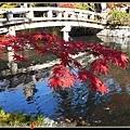 深紅色的楓葉