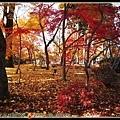 這一片楓樹林...好讚!!