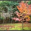 唯一一棵還有葉子的楓樹...他的鄰居都已謝光光