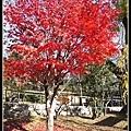 喔耶!!終於有顆很紅很紅的楓葉