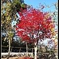 這棵楓樹感覺年紀還很小