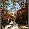 下鴨神社的楓樹都長好高呀!!