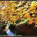 黃澄澄的楓樹