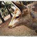 奈良真的是一堆鹿