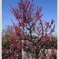 桃紅色的梅花