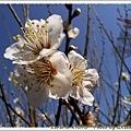 我喜歡白色的梅花