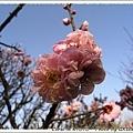 粉紅色的楊貴妃