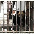 好幾頭黑熊都被關在狹窄的籠子,貓熊和北極熊住的地方比較舒適