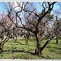 感覺不出有2000棵梅樹