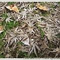 滿地枯楓葉