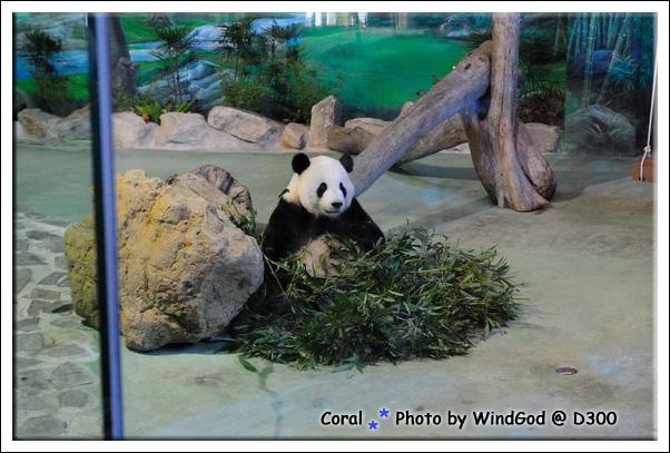 看熊貓要排隊