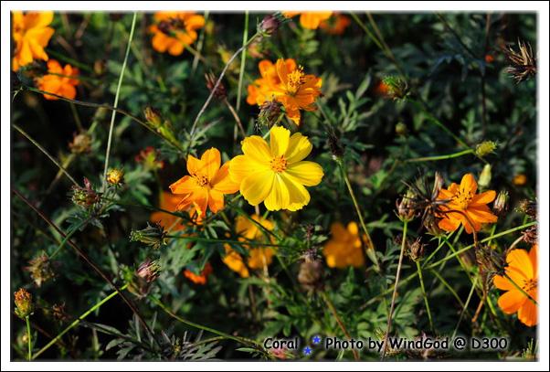全盛滿開的波斯菊應該很美