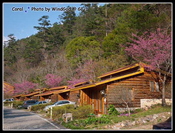 小木屋這區不少櫻花樹