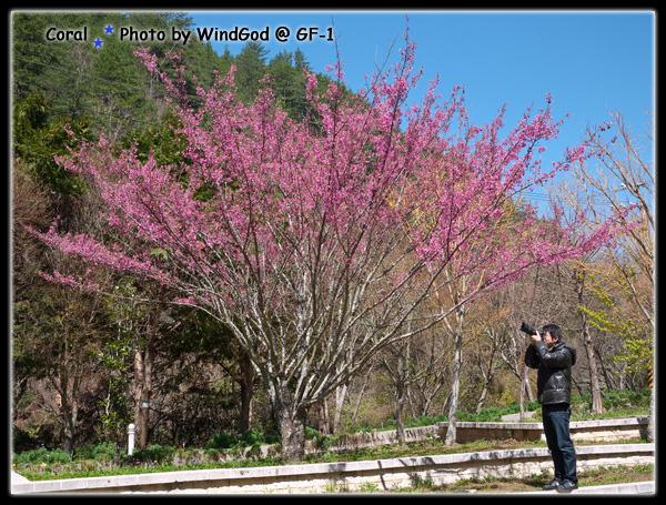 藍天與櫻花的組合...上心悅目