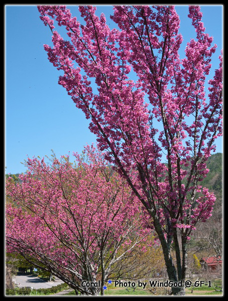 這個櫻花像糖葫蘆