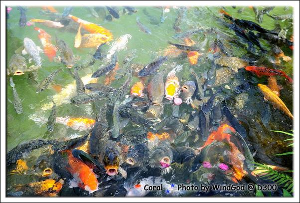 運河鯉魚好多呀...每隻都像幾百年沒吃飯似的