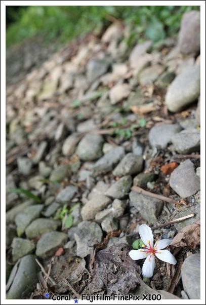 終於...發現一朵油桐花!!