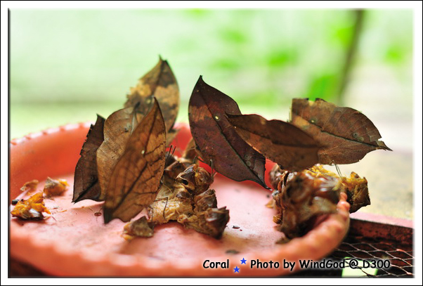 發現藏身在葉子裡的蝴蝶沒??