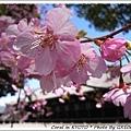 粉嫩的櫻花呀!!
