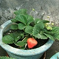 cash的草莓園