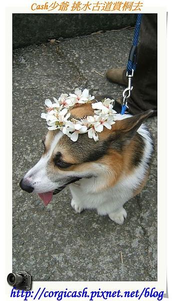 我是桐花小仙子