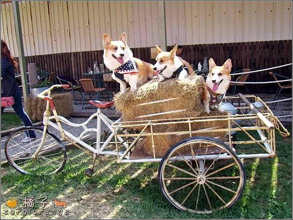 三輪車上載著三犬.jpg