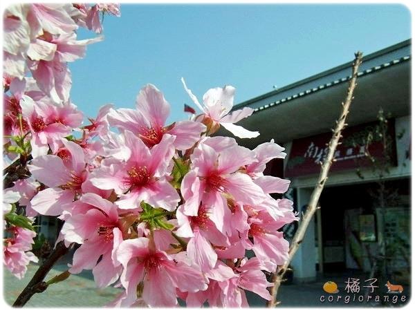 南投服務區的富士櫻.jpg