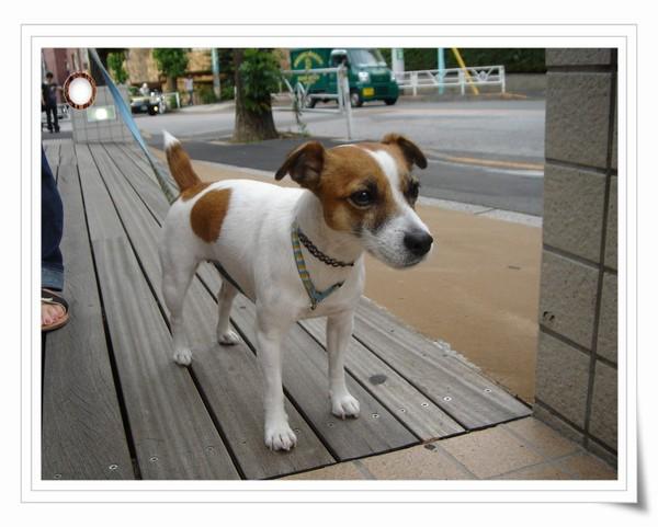 在代官山散步的捷克羅素梗犬.jpg
