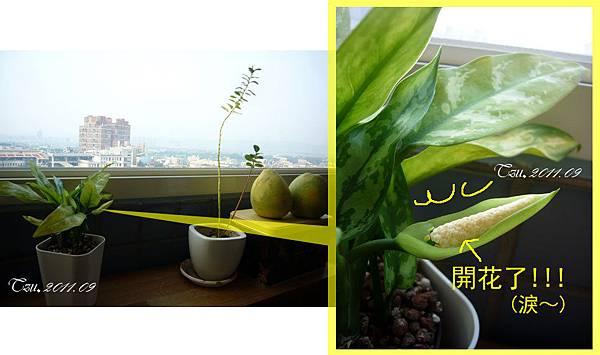 (3Y3M)吃柚子-開花囉