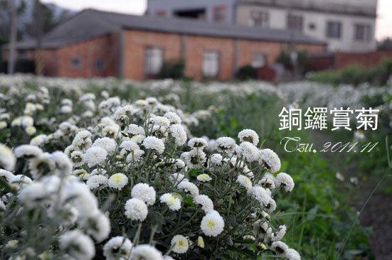 (3Y5M&1Y5M)銅鑼賞杭菊