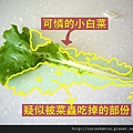 (14M)菜蟲把小白菜吃光光了