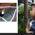 (15M)六福村遊-看巨嘴鳥