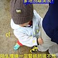 (17M)銅鑼杭菊-緊抓把拔不放