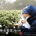 (17M)銅鑼杭菊-跟媽咪去看花