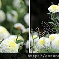 (17M)銅鑼杭菊-花朵特寫2