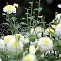 (17M)銅鑼杭菊-花朵特寫4