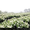 (17M)銅鑼杭菊-花朵特寫1