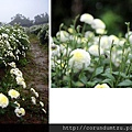 (17M)銅鑼杭菊-花朵特寫3