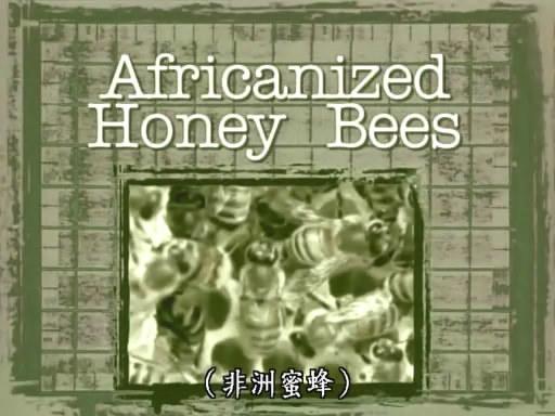 Africanized Honey Bee (1).jpg