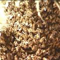 Africanized Honey Bee (3).jpg