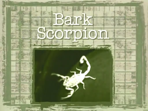 Bark Scorpion (1).jpg