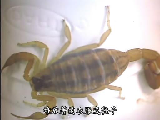 Bark Scorpion (3).jpg