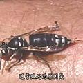 Wasp (4).jpg