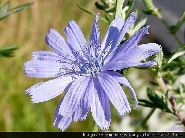 Chicory_flower.jpg