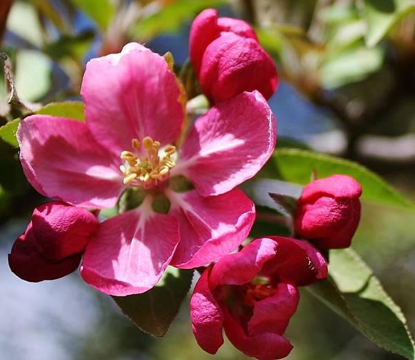 crabapple-blossom-bruce-bley.jpg