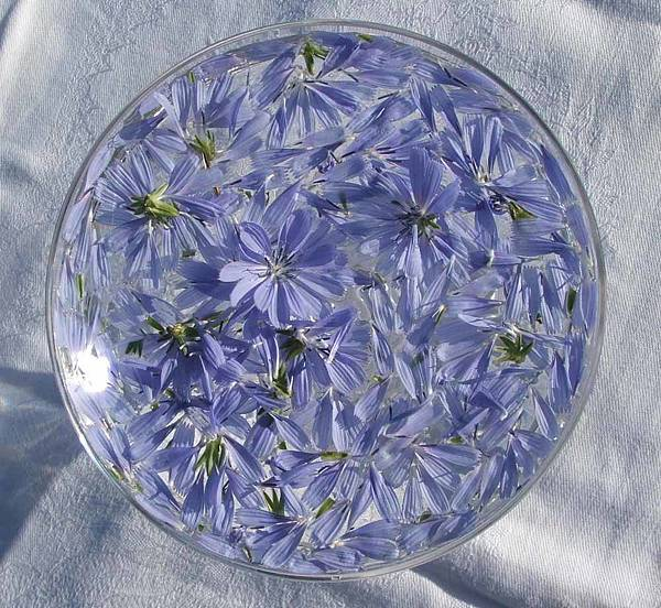 chicory-flower-remedy.jpg